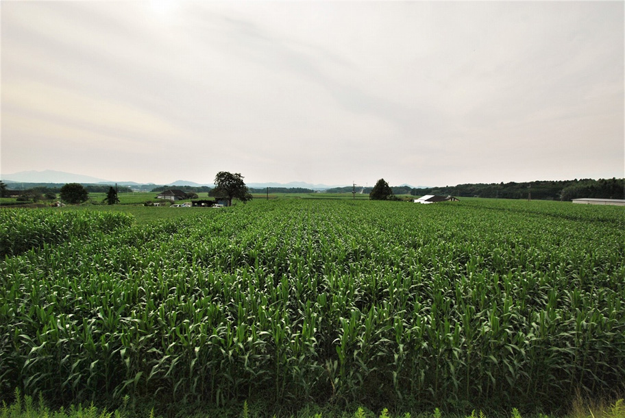 菊池市泗水町 とうもろこし畑